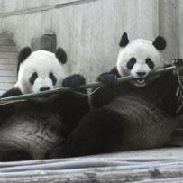 First pandas, then phones