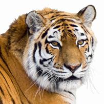 The tiger economy