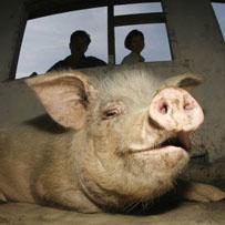 The whole hog