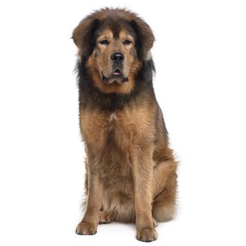 Tibetan Mastiff w