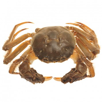Hairy crab w