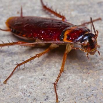 Cockroach w