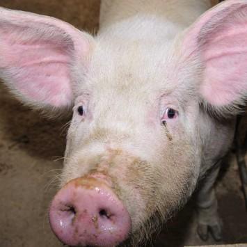 Pig w