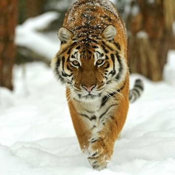 Siberian Tiger w