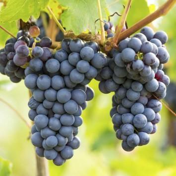 Grapes w