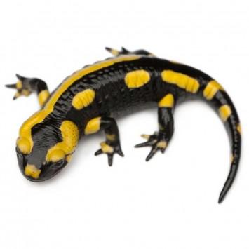 Salamander w