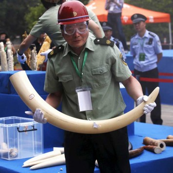 A government official carries an ivory tusk at a confiscated ivory destruction ceremony in Beijing