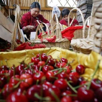 CHINESE WORKERS PACK CHERRIES