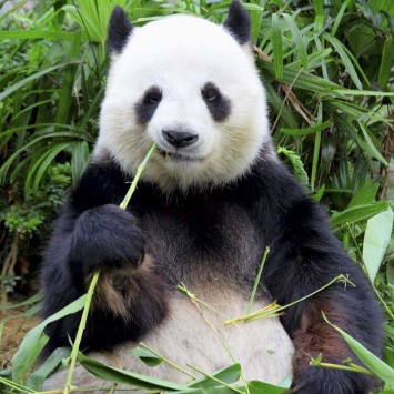 Panda w