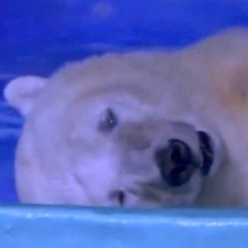 pizza polar bear