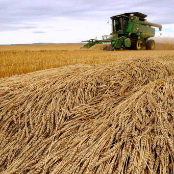 Wheat-w
