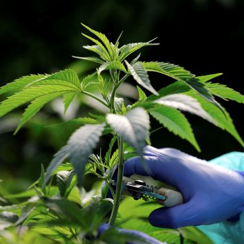 Cannabis-w