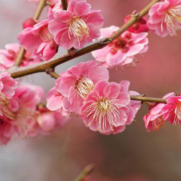 Plum-Blossom-w