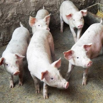 CHINA-AFRICAN-SWINE-FEVER-PIGS
