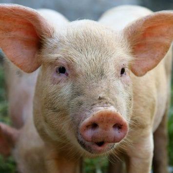 Pig-w