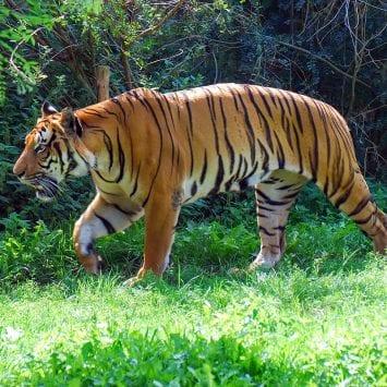 Tiger-2-w